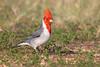 Red-crested cardinal (7DC_6654-1) (Eric SF) Tags: redcrestedcardinal cardinal koolina oahu hawaii