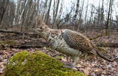 Ruffed Grouse Wide Angle (Bill McMullen) Tags: grouse ruffedgrouse forest autumn wildlife ontario ontariowildlife nature