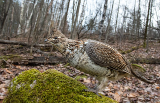 Ruffed Grouse Wide Angle