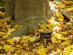 胡麻科 Uncarina grandidieri  艷桐草  黄花胡麻 Succulent sesame 鉤刺麻屬 (Sheila's collection) Tags: 艷桐草 succulent sesame pedaliaceae 胡麻科 黄花胡麻 mouse trap tree