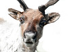 Hello?  Is it me you're looking for? (ml_thorsteinson) Tags: caribou reindeer alaska christmas