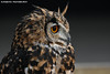 European eagle owl - Falconry fair (Mandenno photography) Tags: dierenpark dierentuin dieren animal animals owl owls eagle eurasian ngc nederland netherlands nature bird birds
