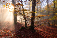 Autumn Glow (Hector Prada) Tags: bosque otoño niebla hojas sol contraluz luz hayedo mágico naturaleza forest autumn tree árbol leaves bruma mist fog backlight light sun magic morning mood paísvasco nature basquecountry