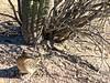 Fearless Road Runner-15 (Chic Bee) Tags: camouflage shadow roadrunner bird sabinocanyon nature naturewalk catalinamountains tucson arizona southwesternusa americansouthwest america interesting