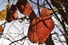 Herbstliches Laub einer Brombeere (Rubus) in der Abendsonne; Bergenhusen, Stapelholm (5) (Chironius) Tags: schleswigholstein deutschland germany allemagne alemania germania германия szlezwigholsztyn niemcy landschaft landwirtschaft herbst herfst autumn autunno efteråret otoño höst jesień осень laub stapelholm bergenhusen rot