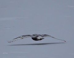 Floating on thin air . . . (Dr. Farnsworth) Tags: bird floating thin air snowyowl gliding no effort ice snow lagoons muskegon mi michigan winter december2017 nationalgeographic worldwide