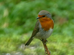 Rougegorge / Robin (zogt2000 (No Video)) Tags: erithacusrubecula robin rougegorge jardin garden oiseau bird plomeur