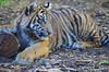DSC_0782 (Andrew Nakamura) Tags: animal mammal tiger tigercub sumatrantiger lyingdown bigcat sandiegozoosafaripark safaripark escondido