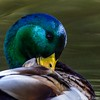 Irvine Regional Park - Mallard Drake Grooming_5095 (www.karltonhuberphotography.com) Tags: 2017 bird birdphotography colorful content drake duck facingright feathers grooming intimate iridescent irvineregionalpark karltonhuber lake lookingdown males mallard mallardanasplatyrhynchos morninglight naturalworld nature outdoors park partialbody peaceful pond southerncalifornia squareimage water