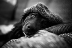 I got a cap for christmas, extremely cosy (AlphaAndi) Tags: monochrome mono urban trier tiefenschärfe tier hund wow sony schwarzweis dof deepoffield dog fullframe vollformat closeup nahaufnahme blackandwhite blackwhite bw bokeh bokehlicious blur blurring