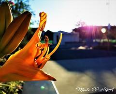 263. GOODNITE : Lilly's Lullabye (Meili-PP Hua 2) Tags: flowre flowers blooms petals pistils buds leaves plant bush shurb mlpphflora mlpphnature macro orange yellow saffron mandarin tangerine lily lilies photographypassionsxyz