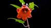 Canary Island Bellflower (Jörg Bergmann) Tags: 1232mm bicácaro campanulaceae islascanarias kanarenglockenblume lagomera bellflower canarias canarinacanariensis canaryislands endemic españa flower gf7 gomera herb january lumix m43 mft nature spain wildflowers flowers macro