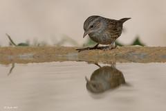 _SEN3766-E (Sento74) Tags: acentorcomun prunellamodularis aves birds fauna nikond500 tamron150600