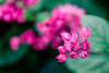 Pop of Pink (rg69olds) Tags: 12302017 35mm 5dmk4 lauritzengardens nebraska sigma35mmf14artdghsm canon omaha sigma flower plant pink greenhouse 35mmf14dghsm|a canoneos5dmarkiv