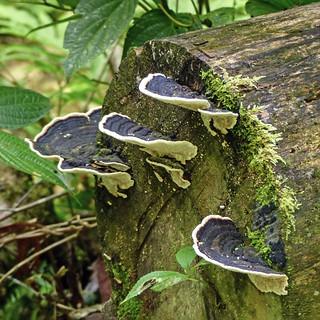 Fungi seen on the Oilbird hike, Trinidad
