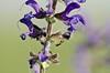 DSC_8970 (jozsef.fay) Tags: hely itthon köncsög növény virág hangya rovar vadvirág állat