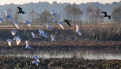 ebony, and ivory.. (just call me Mr Lucky) Tags: glossyibis snowyegret flock flight white black cattailmarsh