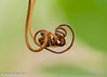 Knots (asheshr) Tags: beautifulmacro curl curls curlywurly curves d7200 depthoffield dof macro macrophotography nikon nikond7200 vine vines