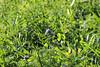 CKuchem-2178 (christine_kuchem) Tags: acker ackerrand agrarlandschaft biene bienenfreund bienenweide blühstreifen blüte boden bodenverbesserung dünger düngung eiweis eiweiserbsen erbsen feld felder grün gründünger insekten klee kulturlandschaft landwirtschaft lupinen mischung nahrung nektar phacelia pisumspec ramtillkraut sommer verbesserung winter winterroggen bio biologisch blau lila naturnah natürlich