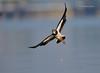 A Sweet Turn... (Anirban Sinha 80) Tags: nikon d610 fx 500mm f4 ed vrii n g bird lapwing bokeh water wing turn inflight colour