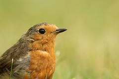 European Robin - Brittany (Léo Denoual) Tags: brittany carnac wild wildlife nature green orange christmas robin natural morbihan rougegorge