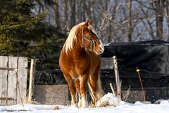 Horse on Christmas Eve day (Trevdog67) Tags: male horse stallion adult christmaseve field pasture snow winter cold moncton newbrunswick nouveaubrunswick canada nikon d7500 sigma 150600mm 15x teleconverter
