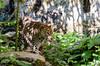 Zoo Doué La Fontaine, Bio Parc (GL Showa) Tags: zoo félin douélafontaine gilles panthère