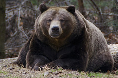 and Tommo is his name oh (ucumari photography) Tags: ucumariphotography ursusarctos brownbear grizzlybear bear tommo animal mammal grizzly brown nc north carolina zoo december 2017 dsc4622 specanimal specanimalphotooftheday
