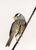 White-Crowned Sparrow (Ed Sivon) Tags: america canon nature lasvegas wildlife wild western southwest desert clarkcounty clark vegas bird henderson nevada park