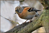 Brambling (image 1 of 2) (Full Moon Images) Tags: raspy sandy lodge thelodge wildlife nature reserve bedfordshire bird brambling