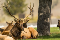 Total exhaustion (ChicagoBob46) Tags: bullelk elk bull yellowstone yellowstonenationalpark nature wildlife ngc coth5 npc