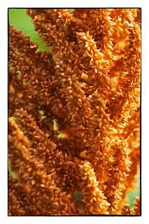 Orange Amaranth