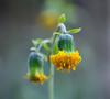 Flower (LuckyMeyer) Tags: green yellow makro botanical garden flower fleur blume blüte plant pflanze