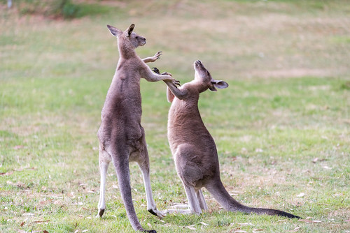 Boxing Kangaroos