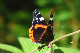 Red Admiral, New Forest NP, Hampshire, England