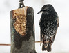 Étourneau sansonnet // European Starling (Keztik) Tags: étourneausansonnet europeanstarling sturnusvulgaris bird étourneau oiseau starling animal wildlife nature feeder log mangeoire buche nikon d7500