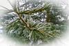 Cedrus deodara 'Karl Fuchs' (mesocyclone70) Tags: evergreen cedrus cedar green blue winter rime ripe snow christmas himalaya afghanistan conifer beautiful december deodara cedrusdeodara himalayancedar closeup macro tree