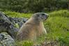 Marmot/ Murmeltier (jakobgfreiner) Tags: murmeltier marmot salzburg