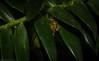 green scarab on bunya pine (dustaway) Tags: arthropoda insecta coleoptera scarabidae australianwildlife tamborinemountain mounttamborine sequeensland queensland australia rutelinae metallicgreenscarabbeetle australianinsects