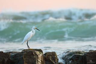 Snowy egret - Aigrette neigeuse - Egretta thula