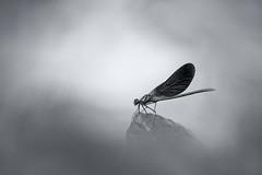 Agrion éclatant (jeff_006) Tags: nature close up portrait bokeh summer été libellule dragonfly agrion éclatant eye yeux aile wing feuille leaf em5 omd olympus 40150f28 black white blackandwhite noir blanc noiretblanc