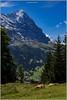 Repos sous la vigilance de l'Eiger (jamesreed68) Tags: canon eos 600d eiger suisse jungfrau bernois oberland schweiz mountain vache nature