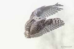The look (Earl Reinink) Tags: winter ontario canada nature landscape photography bird raptor animal owl snowyowl flying sky outdoors earl reinink earlreinink eyes iirdauuaia