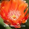 Opuntia elatior-5 (SUBENUIX) Tags: cactaceaeopuntias opuntiaelatior suculentas subenuix subenuixcom planta suculent suculenta botanic botanical
