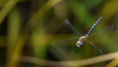 Migrant Hawker - Aeshna Mixta - Hovering (Visual Stripes) Tags: dragonfly odonata insect hovering bokeh sigma135400mm panasoniclumixg1 telelens