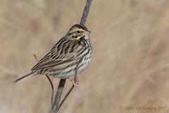 Savannah Sparrow (Matt Shellenberg) Tags: savannah sparrow savannahsparrow riverlandsmigratorybirdsanctuary riverlands migratory sanctuary