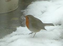 Cold footed robin (JuliaC2006) Tags: snow northamptonshire garden bird robin erithacusrubecula
