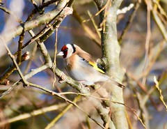 Goldfinch - Taken at Titchmarsh Nature Reserve, Aldwincle, Northants. UK (Ian J Hicks) Tags: