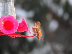 A wayward Allen's Hummingbird (Selasphorus sasin) spending the winter at a private residence (Nature In a Snap) Tags: allens hummingbird selasphorus sasin bird birding birder birdwatching wayward lost vagrant tiny rusty nj new jersey winter 2017 resilient banded feeder wild nature wildlife feathers feathered wings winged jewel