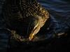 Mallard Hen Feeding (ambrknr) Tags: nature animal wildlife bird fowl waterfowl water delta ponds eugene oregon western pacific northwest duck mallard female hen